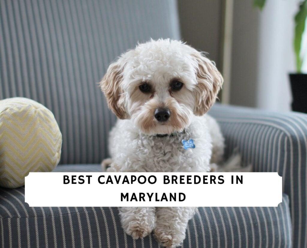 Cavapoo Breeders in Maryland