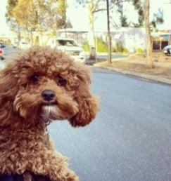 Cavapoo Puppies For Sale in Missouri