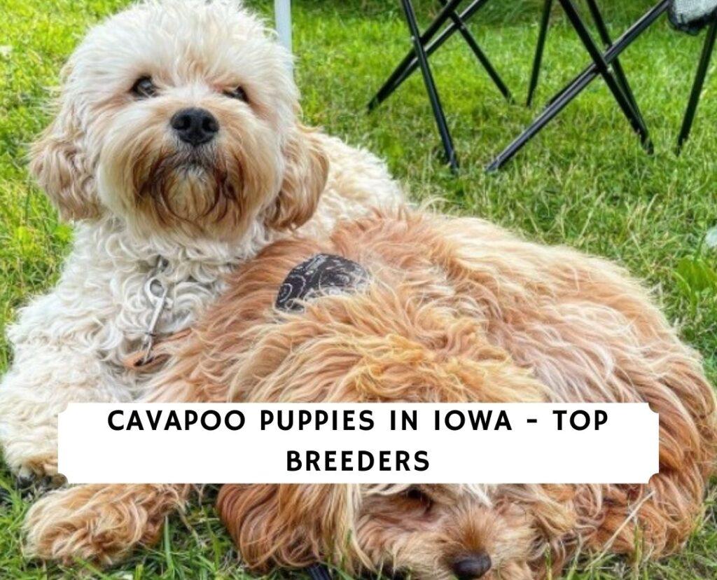 Cavapoo Puppies in Iowa