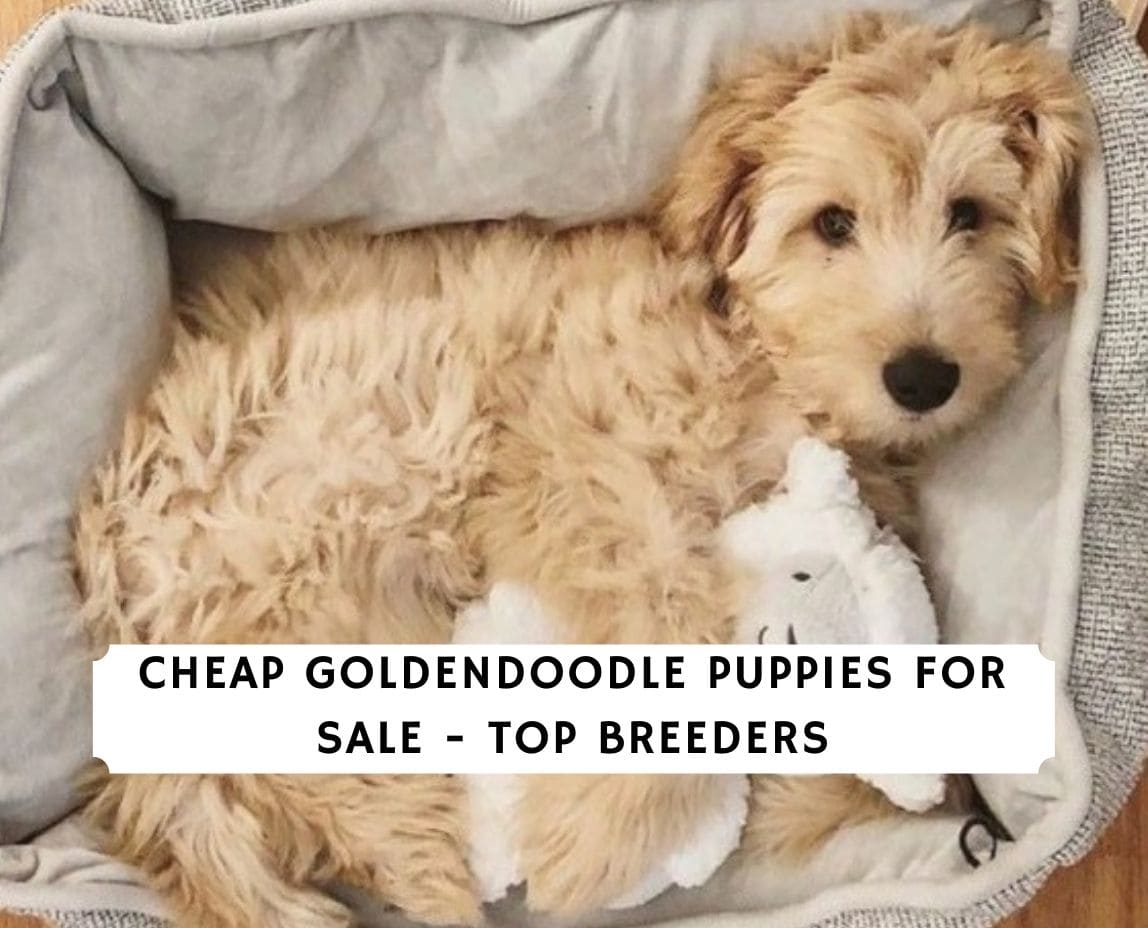 Cheap Goldendoodle Puppies For Sale