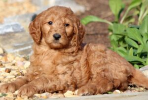 """Conclusion For """"Cheap Goldendoodle Puppies For Sale"""""""