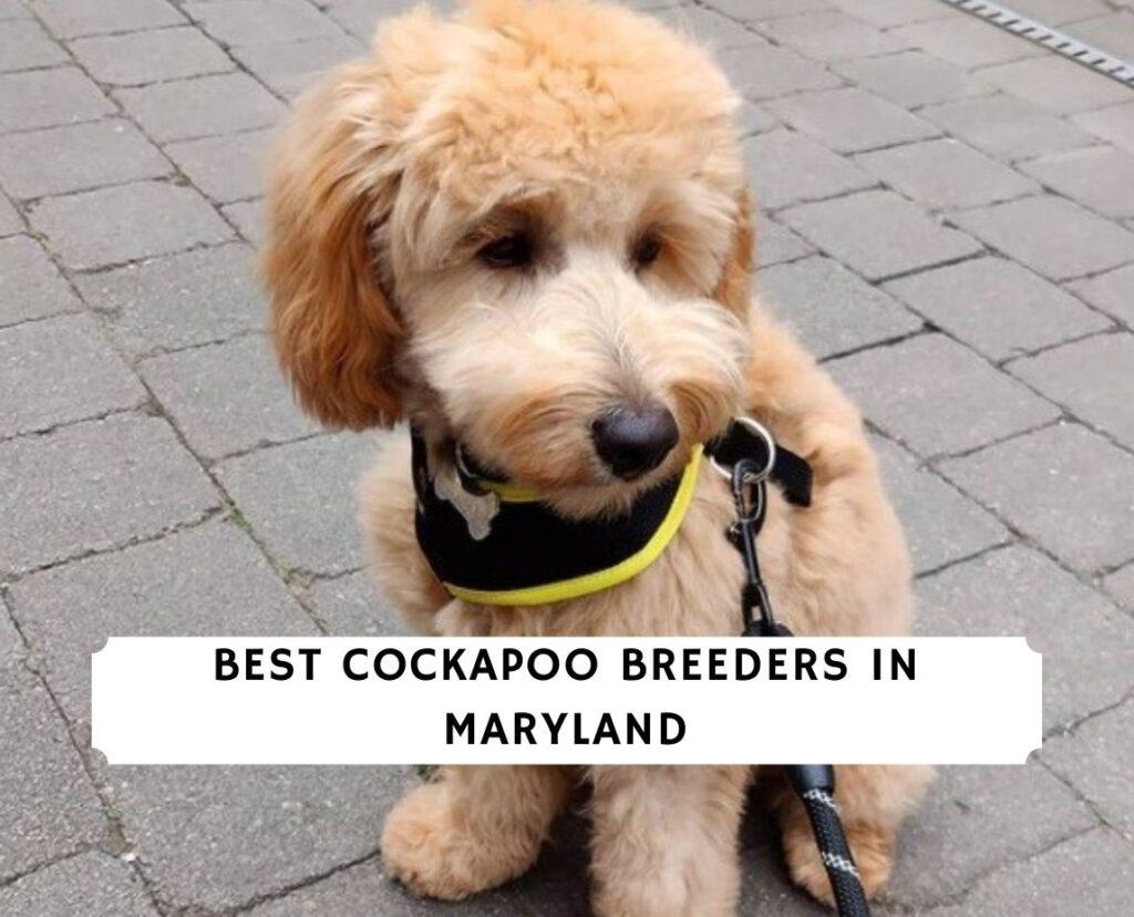 Cockapoo Breeders in Maryland