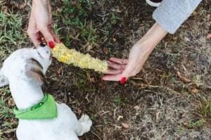 Concerns in Feeding Your Dog Corn Nuts