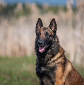 Conclusion For The Best Belgian Malinois Breeders in California