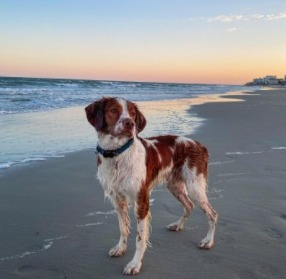 Conclusion For The Best Brittany Breeders in California