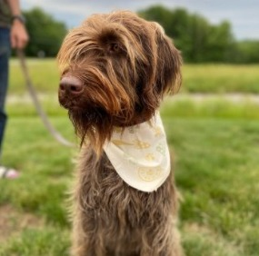 Conclusion for Best Wirehaired Pointing Griffon Breeders in the USA