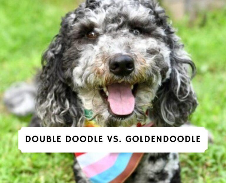 Double Doodle vs Goldendoodle