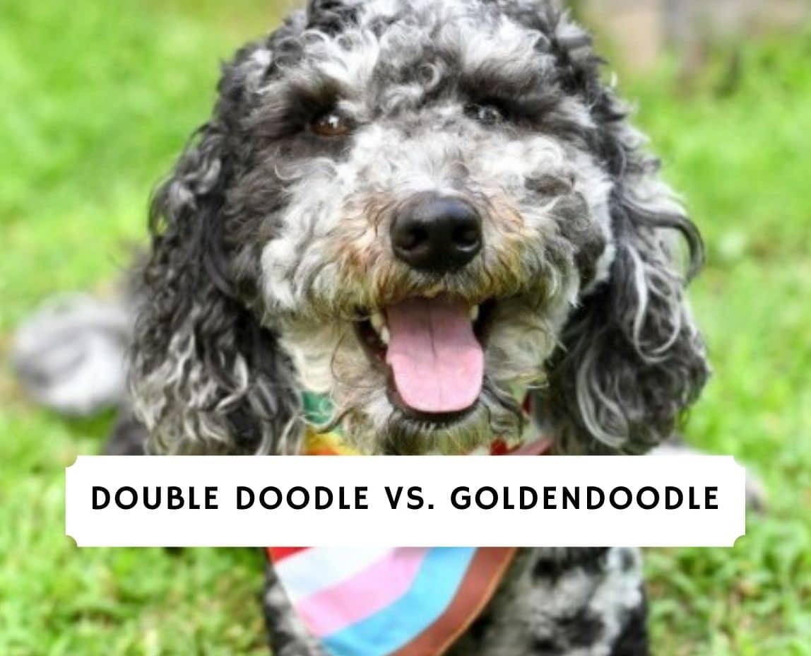 Double Doodle vs. Goldendoodle