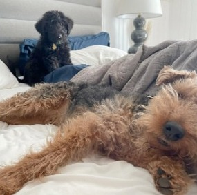 Food and Diet for an Airedale Terrier Poodle Mix