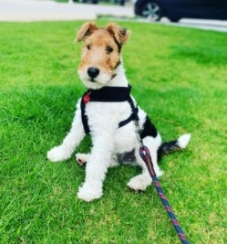 Fox Terrier Coat Color, Texture, and Grooming