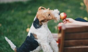 Fox Terrier Feeding and Diet