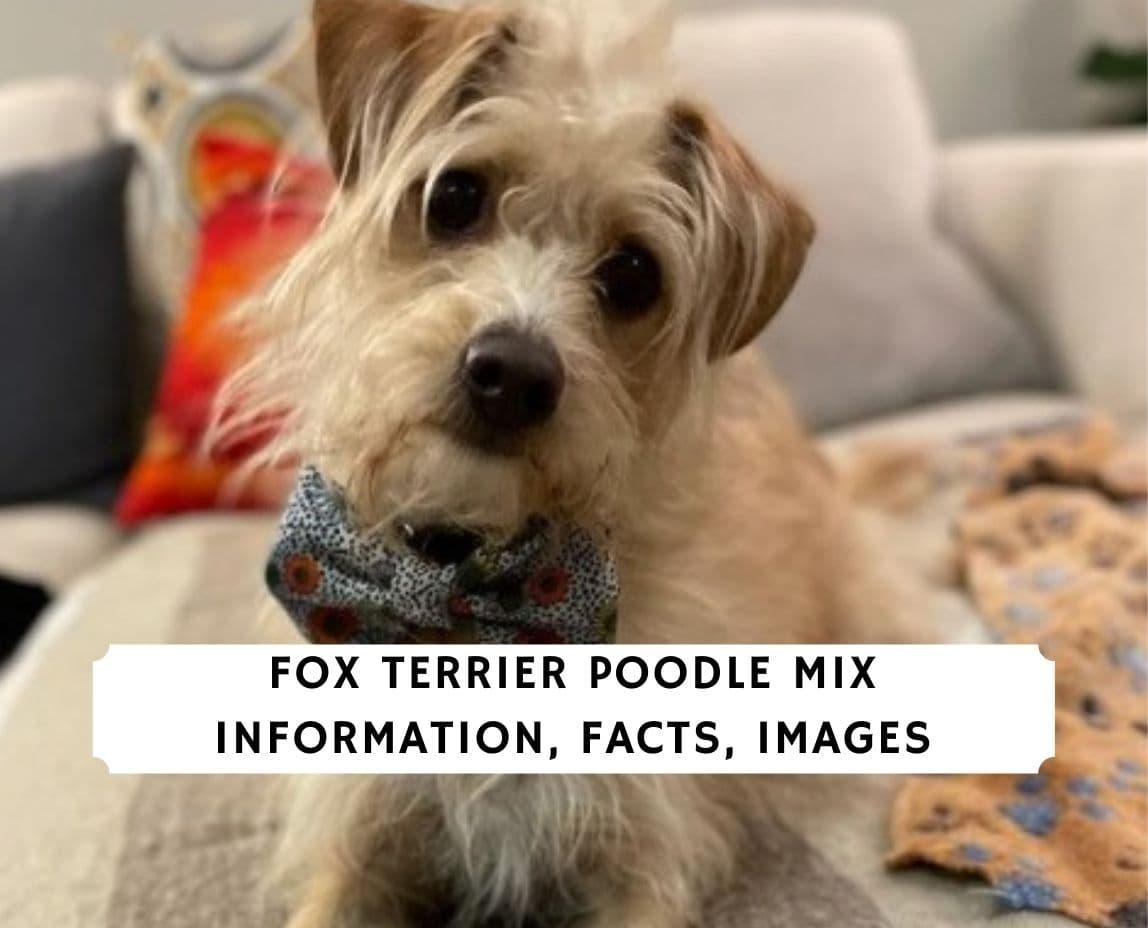 Fox Terrier Poodle Mix