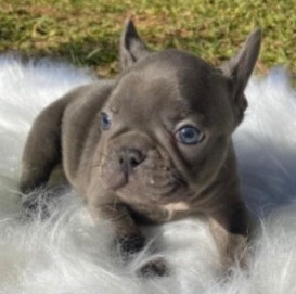 French Bulldog Puppies For Sale in the United States