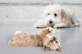How Do Cats React To Goldendoodles