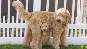 How Do I Care For My Hybrid Goldendoodle