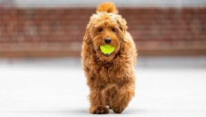 How Do I Know My Goldendoodle Is Overweight?