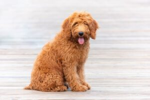 How Do I Make My Goldendoodle Lose Few Pounds?