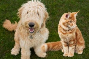 How To Ensure Goldendoodles And Cats Get Along
