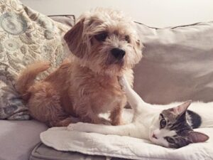 How to Introduce Your Labradoodle to a Cat