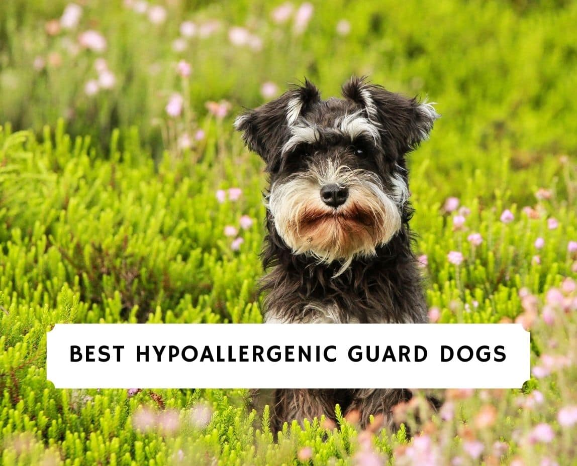 Hypoallergenic Guard Dogs