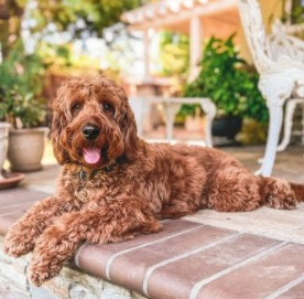 Identifying a Hypoallergenic Doodle