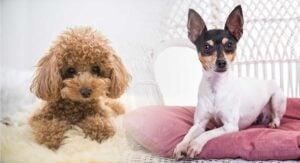 Is the Fox Terrier Poodle Hypoallergenic?
