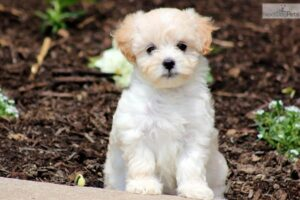 Male Vs. Female Maltipoo Physical Differences