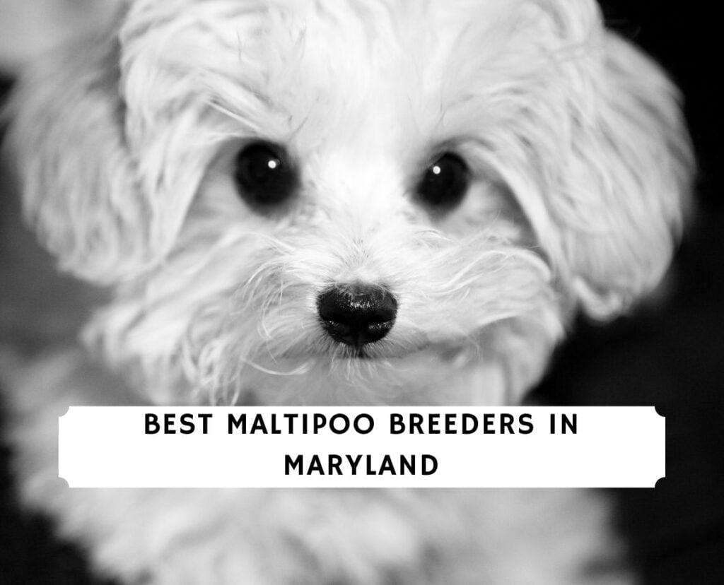 Maltipoo Breeders in Maryland