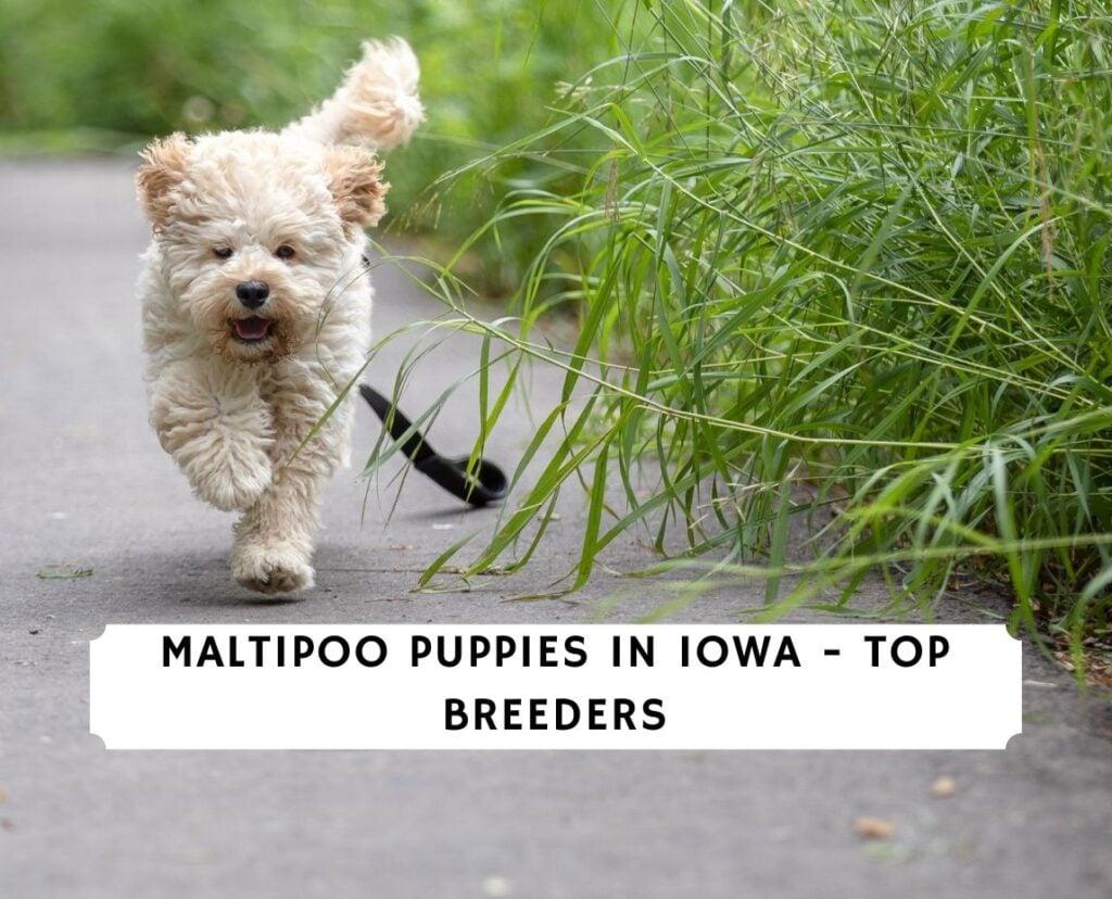 Maltipoo Puppies in Iowa