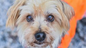 Maltipoo Yorkie Mix Dog Breed Guide