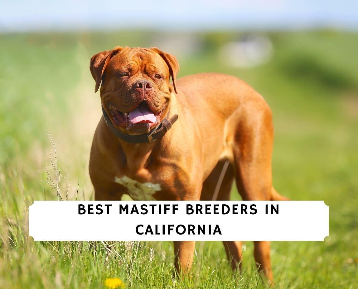 Mastiff Breeders in California