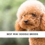 Mini Doodle Breeds