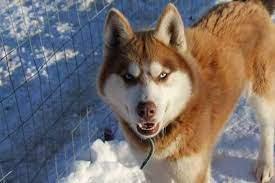 Myths and Legends Siberian Huskies
