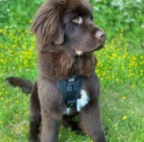 Newfoundland Dog Breed Info