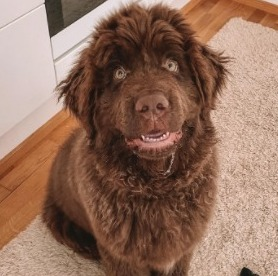 Newfoundland Puppies For Sale in the United States