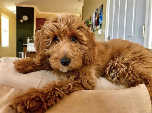 Not All Doodles Are Hypoallergenic