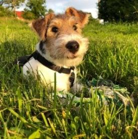 Origin of the Fox Terrier
