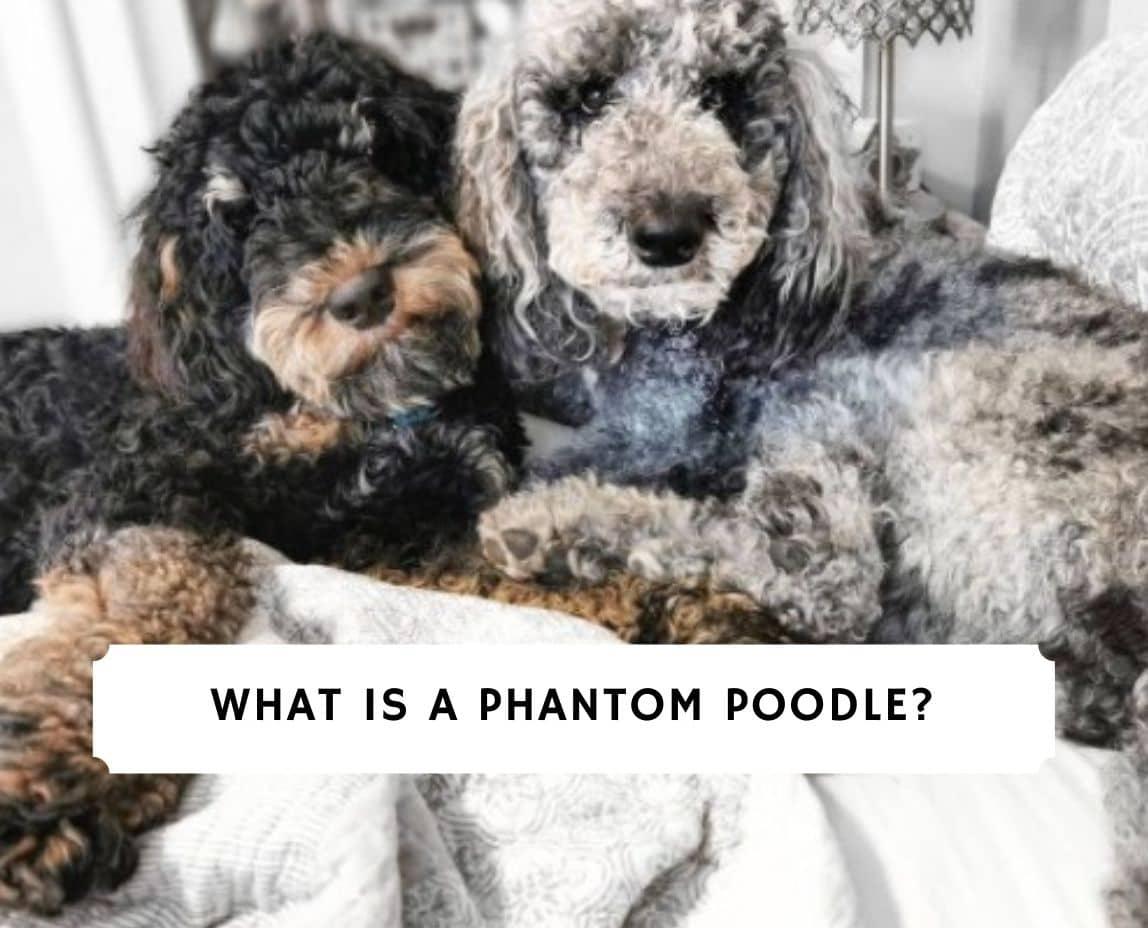 Phantom Poodle