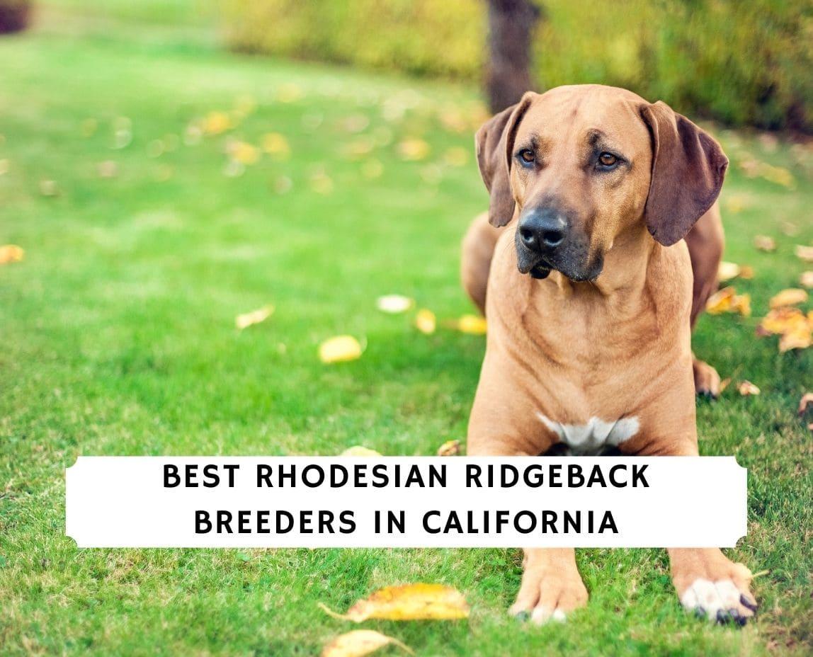 Rhodesian Ridgeback Breeders in California