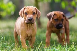 Conclusion For The Best Rhodesian Ridgeback Breeders in California