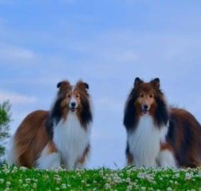 Roseview Shetland Sheepdogs