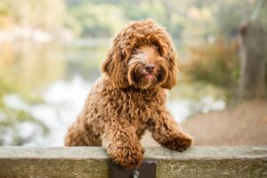 Setting Your Labradoodle Up for Success