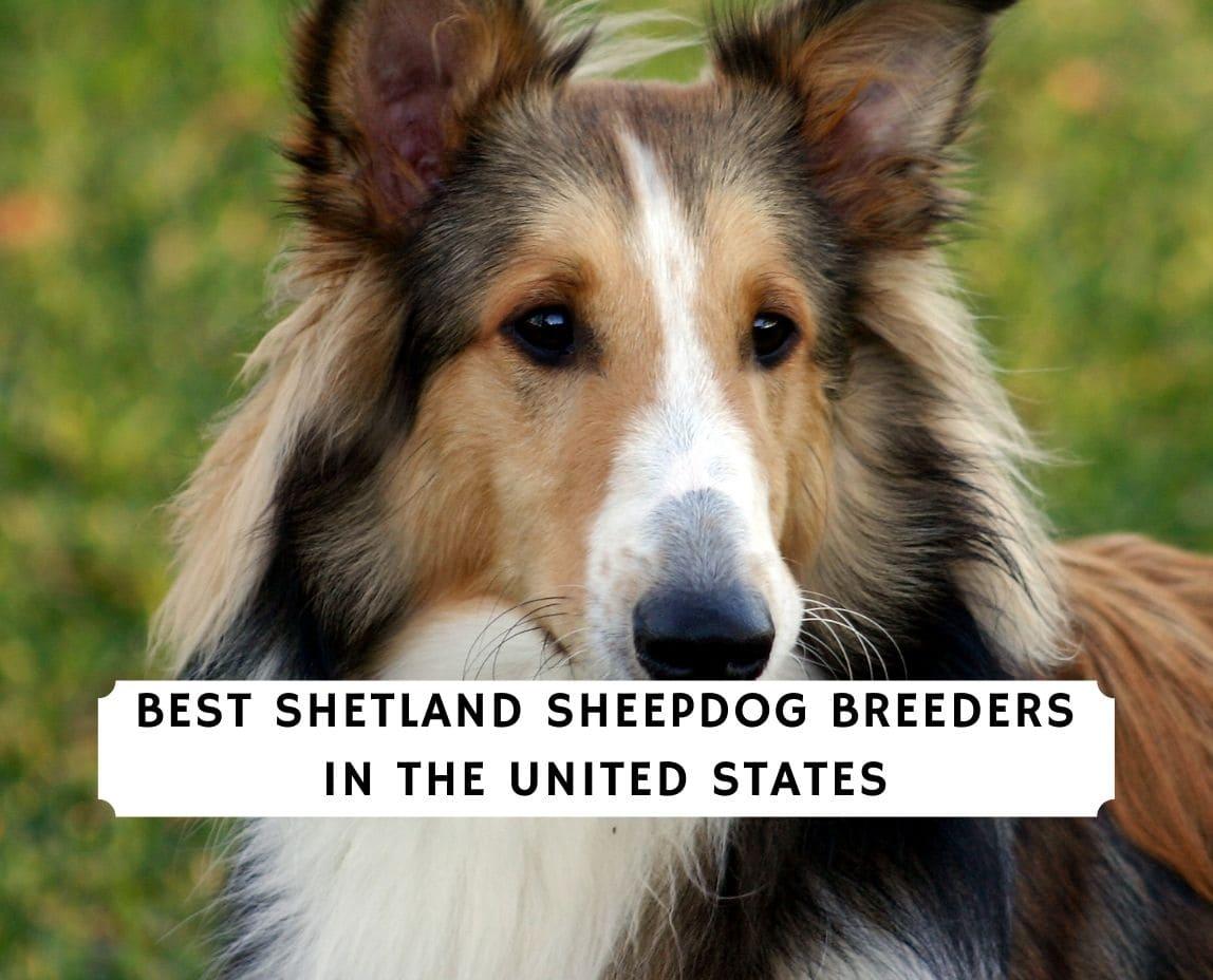 Shetland Sheepdog Breeders
