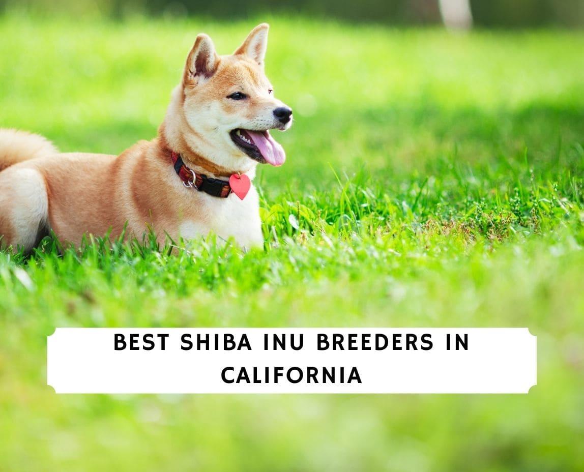 Shiba Inu Breeders in California
