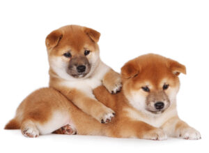 Conclusion For The Best Shiba Inu Breeders in California