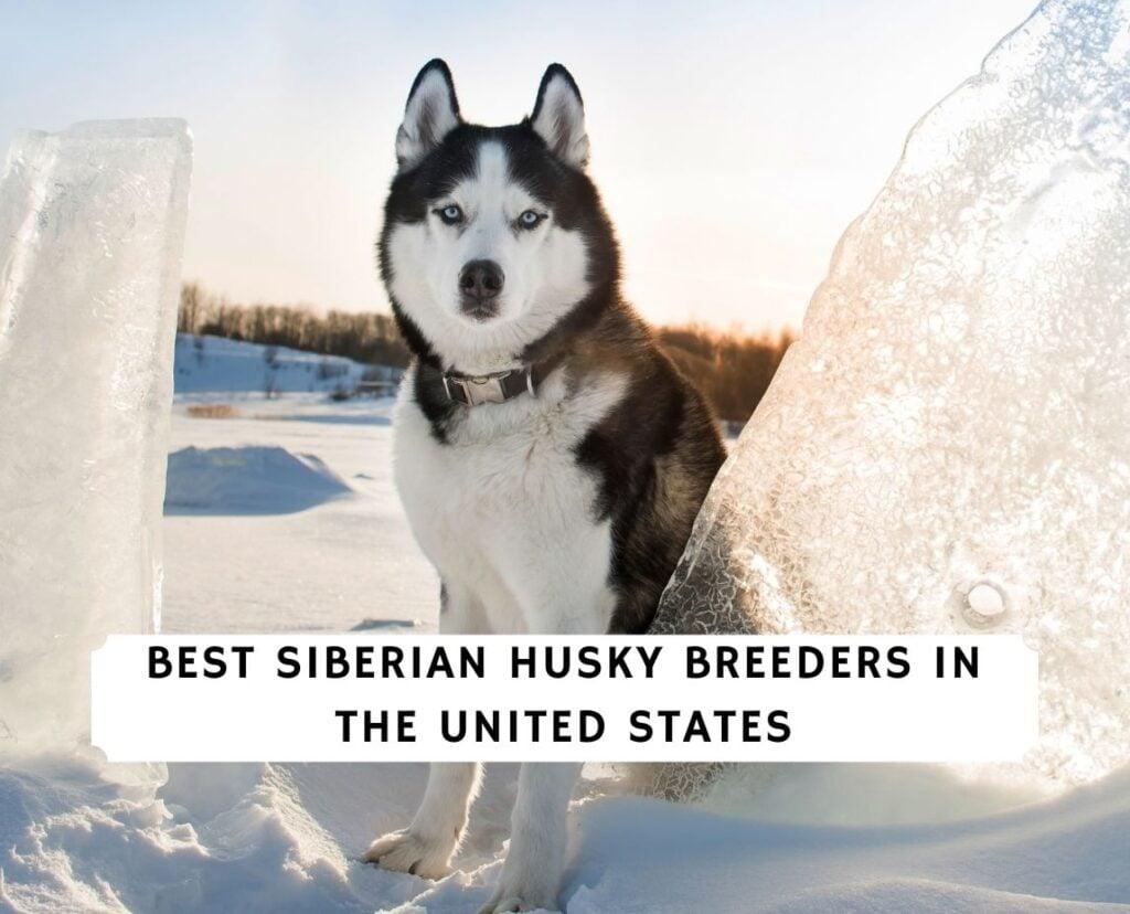 Siberian Husky Breeders