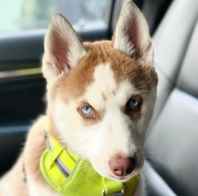 Siberian Husky Puppies For Sale in the United States