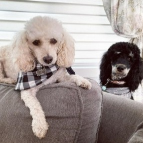 Similarities of All Poodles