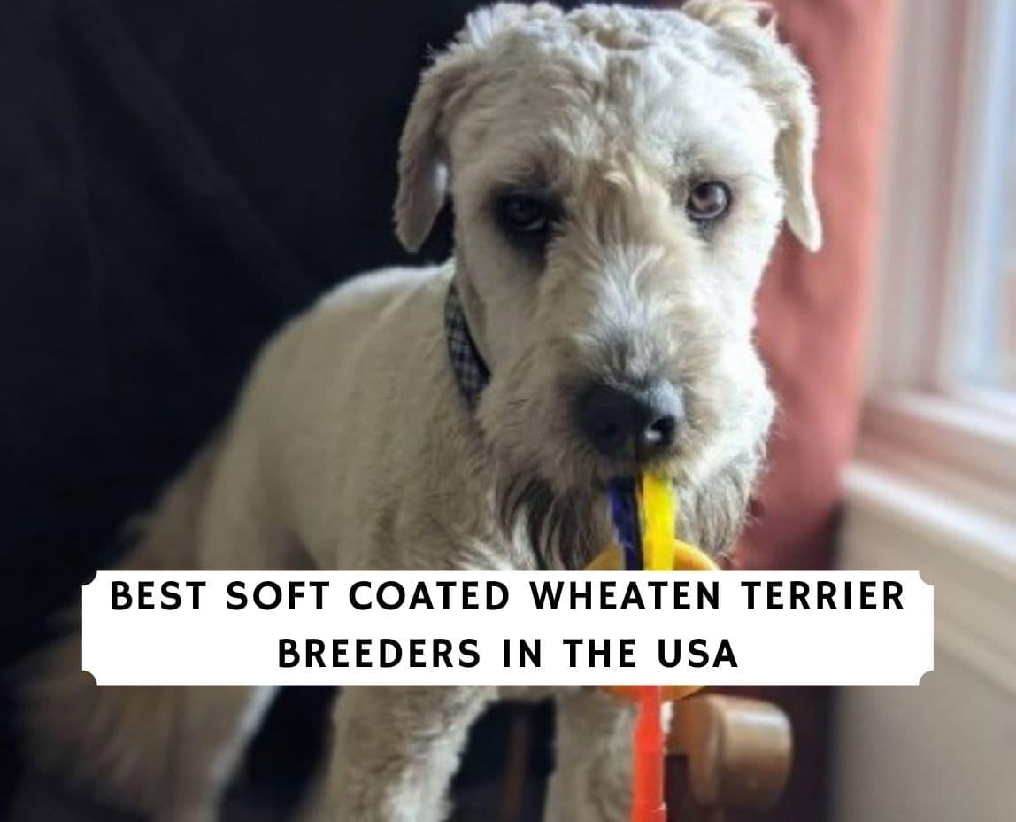 Soft Coated Wheaten Terrier Breeders