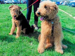 Tips For Training An Airedoodle Dog